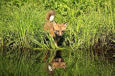 North American Red Fox (Vulpes fulva), cub at the water's edge, Minnesota, USA