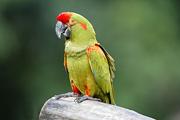 Red-fronted Macaw (Ara rubrogenys), adult, perched on tree, Florida, USA
