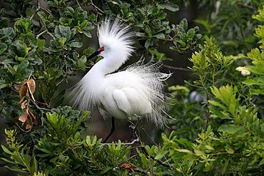 Snowy egret (Egretta thula), adult, on tree, breeding plumage, Florida, USA
