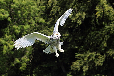 Snowy owl (Nyctea scandiaca), adult in flight, Germany, Europe