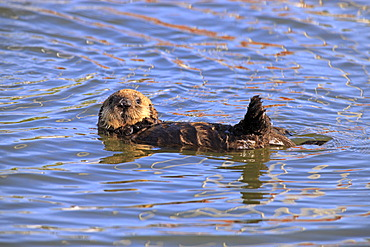 Sea otter (Enhydra lutris), young in the water, Monterey, California, USA