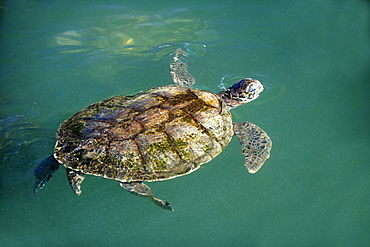 Green Sea Turtle (Chelonia mydas), adult swimming in the water, Cayman Islands, Grand Cayman, Caribbean
