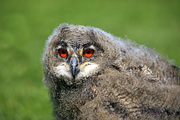 Eagle Owl (Bubo bubo), young bird, portrait, Germany, Europe