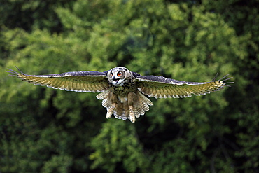 Eagle Owl (Bubo bubo), adult, in flight, calling, Germany, Europe