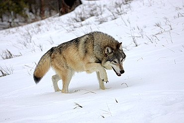 Wolf (Canis lupus), foraging for food, snow, Montana, USA, North America