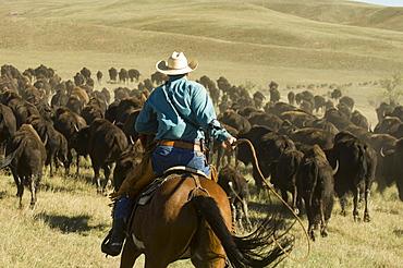 Cowboy at Bison Roundup, Custer State Park, Black Hills, South Dakota, USA, America