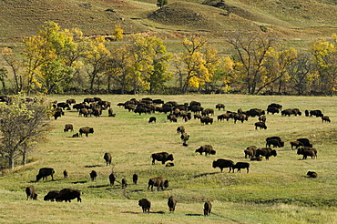 Bison Roundup, Custer State Park, Black Hills, South Dakota, USA, America