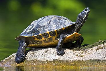 Turtle (Testudinata), Stellbergsee, Soehre, Kassel, North Hesse, Hesse, Germany, Europe