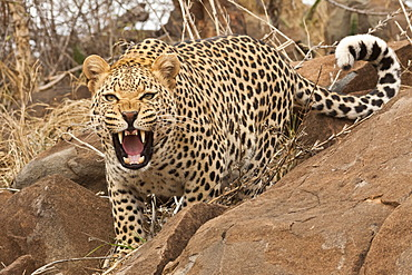 Leopard (Panthera pardus) behind a rock, hissing, Tshukudu Game Lodge, Hoedspruit, Greater Kruger National Park, Limpopo Province, South Africa