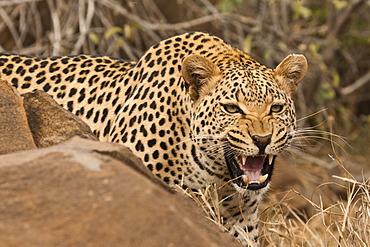 Leopard (Panthera pardus) behind a rock, hissing, Tshukudu Game Lodge, Hoedspruit, Greater Kruger National Park, Limpopo Province, South Africa
