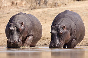 Hippopotamuses (Hippopotamus amphibius) drinking in a waterhole, Tshukudu Game Lodge, Hoedspruit, Greater Kruger National Park, Limpopo Province, South Africa, Africa