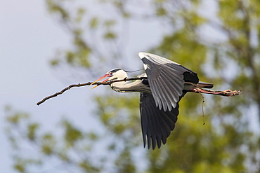 Grey Heron (Ardea cinerea), in flight, Goettingen, Lower Saxony, Germany, Europe