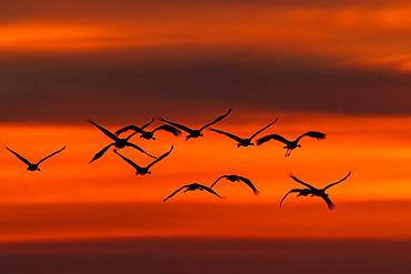 Crane (Grus grus) in flight at sunset, Ruegen Island, Mecklenburg-Western Pomerania, Germany, Europe