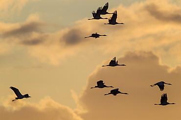 Cranes (Grus grus), in flight, Ruegen Island, Mecklenburg-Western Pomerania, Germany, Europe