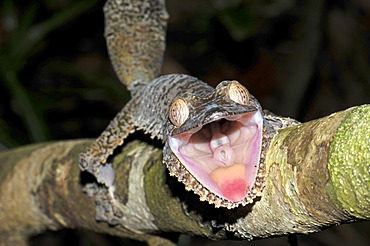 Leaf Tailed gecko (Uroplatus fimbriatus) in the rain forests in the east of Madagascar, Africa, Indian Ocean
