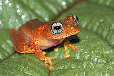 Skeleton frog (Boophis sp.) in the rain forests of Andasibe in eastern Madagascar, Africa, Indian Ocean