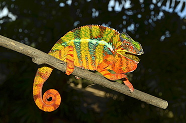 Panther chameleon (Furcifer pardalis), male in the northwest of Madagascar, Africa, Indian Ocean