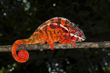 Panther chameleon (Furcifer pardalis) in the east of Madagascar, Africa, Indian Ocean