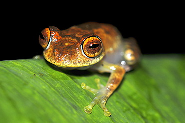 Skeleton frog (Boophis sp.) in the rainforests of Marojejy, Madagascar, Africa, Indian Ocean