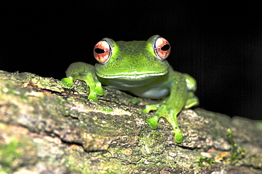 Madagascar Red Eyed Jello Tree Frog (Boophis luteus) in the rain forests in the north of Madagascar, Africa, Indian Ocean