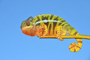 Panther chameleon (Furcifer pardalis) in the northwest of Madagascar, Africa, Indian Ocean