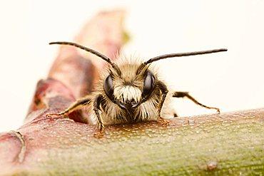 Red Mason bee (Osmia bicornis), male