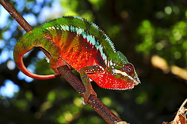 Panther chameleon (Furcifer pardalis) in the rain forests of the Masoala National Park in northeastern Madagascar, Africa, Indian Ocean