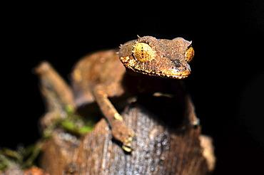 Spearpoint Leaf-tail Gecko (Uroplatus ebenaui) in the Amber Mountain National Park, Madagascar, Africa