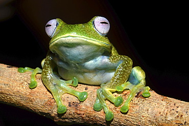 Madagascan Frog (Boophis luteus), in the cloud forest of Eastern Madagascar, Madagascar, Africa