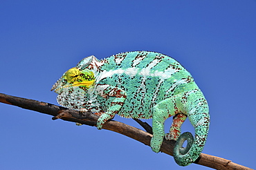 Panther Chameleon (Furcifer pardalis) on the island of Nosy Faly in northwestern Madagascar, Africa