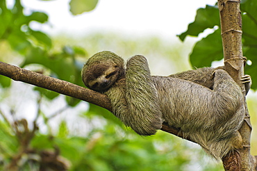 Brown-throated sloth (Bradypus variegatus), male resting on a branch, Manuel Antonio National Park, central Pacific Coast, Costa Rica, Central America