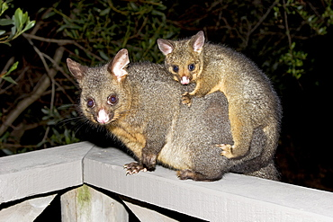 Opossum (Didelphis) carrying a young animal on its back, Tasmania, Australia