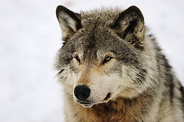 Wolf (Canis lupus), portrait, Canada