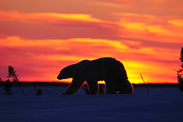 Polar bear sow (Ursus maritimus) with a cub walking in the sunset, Wapusk National Park, Hudson Bay, Manitoba, Canada