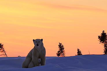 Polar bear sow (Ursus maritimus) with cub sitting in the snow in the sunset, Wapusk National Park, Manitoba, Canada