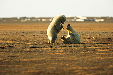 Two young polar bears (Ursus maritimus) play fighting with each other, Kaktovik, North Slope region, Beaufort Sea, Alaska, America