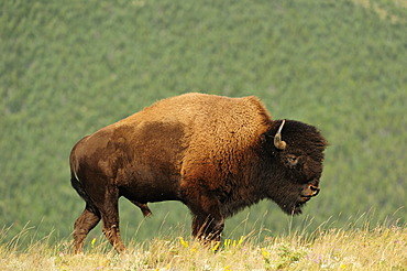 Bison (Bison bison) in the prairie near the Waterton Lakes National Park, Alberta, Canada