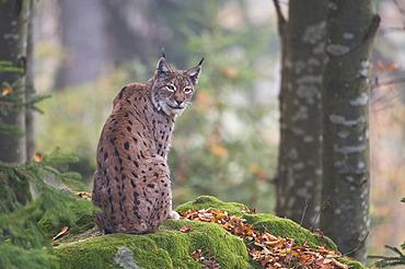 Lynx (Felis lynx)