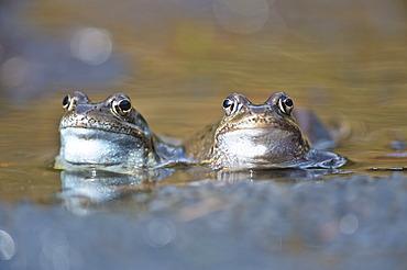 Common frogs (Rana temporaria), Kalkalpen, Limestone Alps National Park, Upper Austria, Austria, Europe