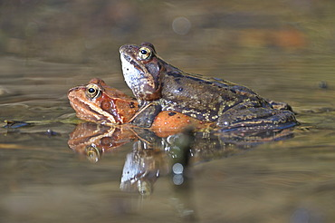 Common frogs (Rana temporaria), mating, Kalkalpen, Limestone Alps National Park, Upper Austria, Austria, Europe