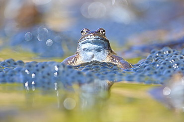 Common frog (Rana temporaria), spawn, Kalkalpen, Limestone Alps National Park, Upper Austria, Austria, Europe