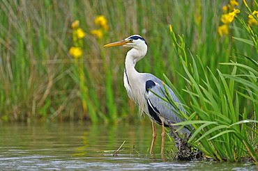 Grey Heron (Ardea cinerea), Camargue, France, Europe