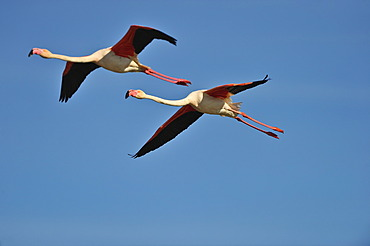 Greater Flamingos (Phoenicopterus ruber), in flight, Camargue, France, Europe