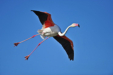 Greater Flamingo (Phoenicopterus ruber), in flight, Camargue, France, Europe