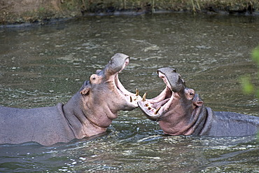 Hippopotamus (Hippopotamus amphibius), measuing their strength in a threat display, Orangi River, Serengeti, Tanzania, Africa