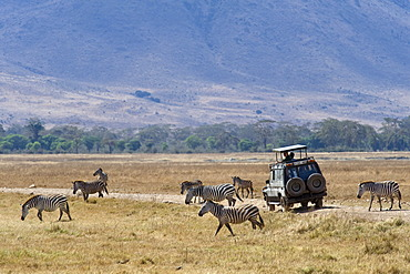 Tourists watching zebras (Equus burchelli) from their vehicle, Ngorongoro Crater, Ngorongoro Conservation Area, UNESCO World Heritage Site, Tanzania, Africa
