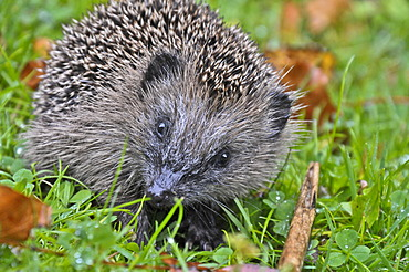 European hedgehog (Erinaceus europaeus) in grass