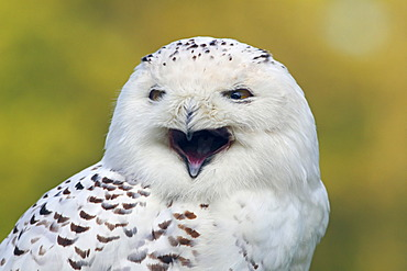 Snowy Owl, Arctic Owl, Great White Owl, Harfang (Bubo scandiacus) (Nyctea scandiaca), calling