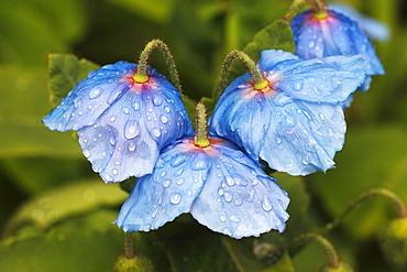 Himalayan blue poppy (Meconopsis betonicifolia), with water droplets, Schleswig-Holstein, Germany, Europe