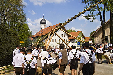 Setting up the traditional maypole in Iffeldorf, Upper Bavaria, Germany, Europe